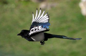 птица сорока, сорока летит
